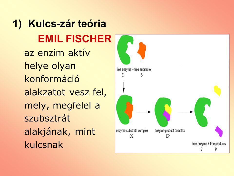 Kulcs-zár teória EMIL FISCHER az enzim aktív helye olyan konformáció