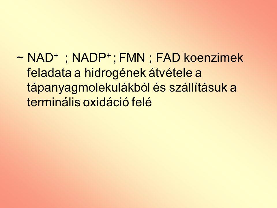 ~ NAD+ ; NADP+ ; FMN ; FAD koenzimek feladata a hidrogének átvétele a tápanyagmolekulákból és szállításuk a terminális oxidáció felé