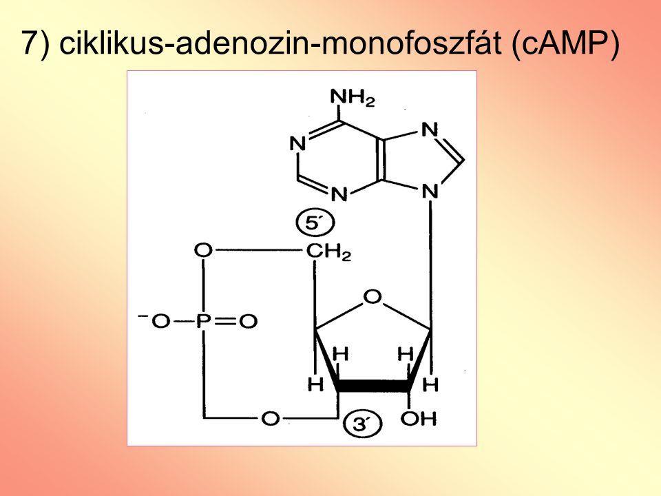 7) ciklikus-adenozin-monofoszfát (cAMP)