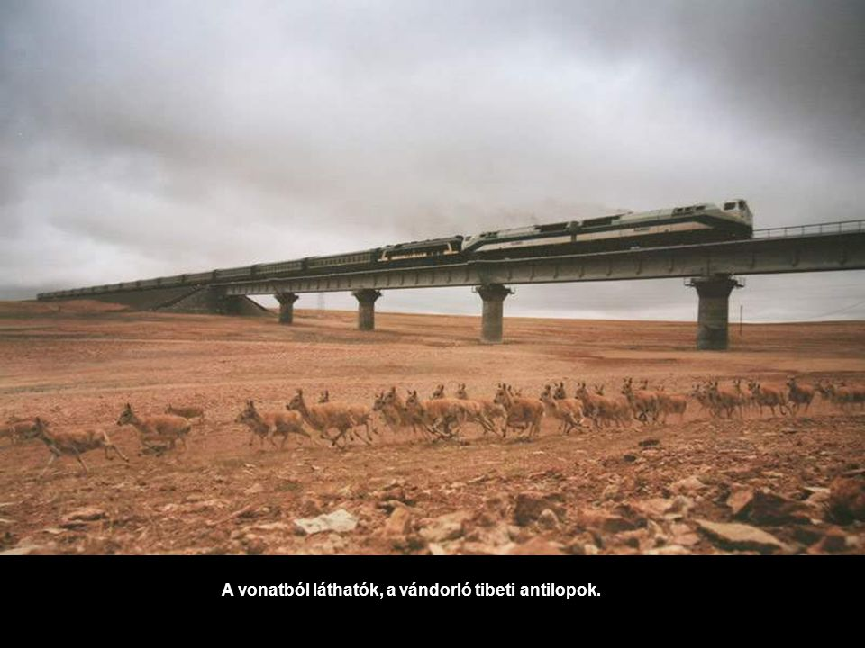 A vonatból láthatók, a vándorló tibeti antilopok.