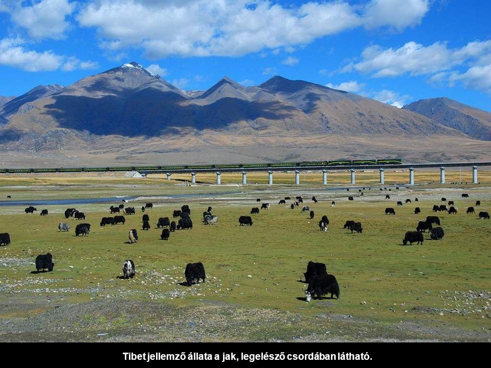 Tibet jellemző állata a jak, legelésző csordában látható.
