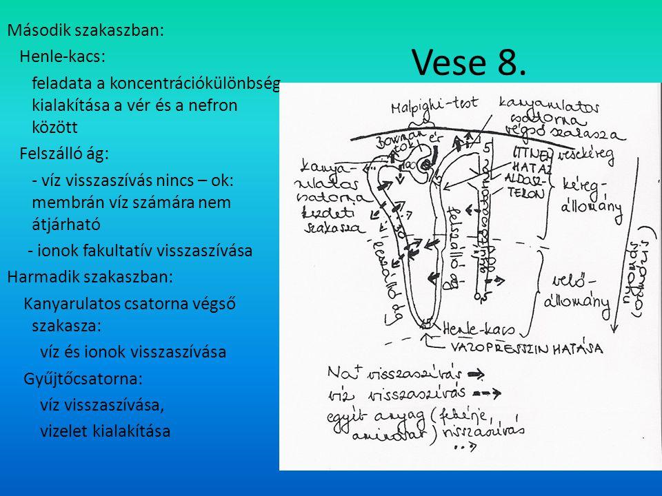 Második szakaszban: Henle-kacs: feladata a koncentrációkülönbség kialakítása a vér és a nefron között Felszálló ág: - víz visszaszívás nincs – ok: membrán víz számára nem átjárható - ionok fakultatív visszaszívása Harmadik szakaszban: Kanyarulatos csatorna végső szakasza: víz és ionok visszaszívása Gyűjtőcsatorna: víz visszaszívása, vizelet kialakítása