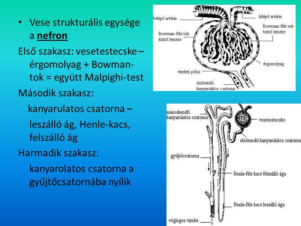 Vese 4. Vese strukturális egysége a nefron
