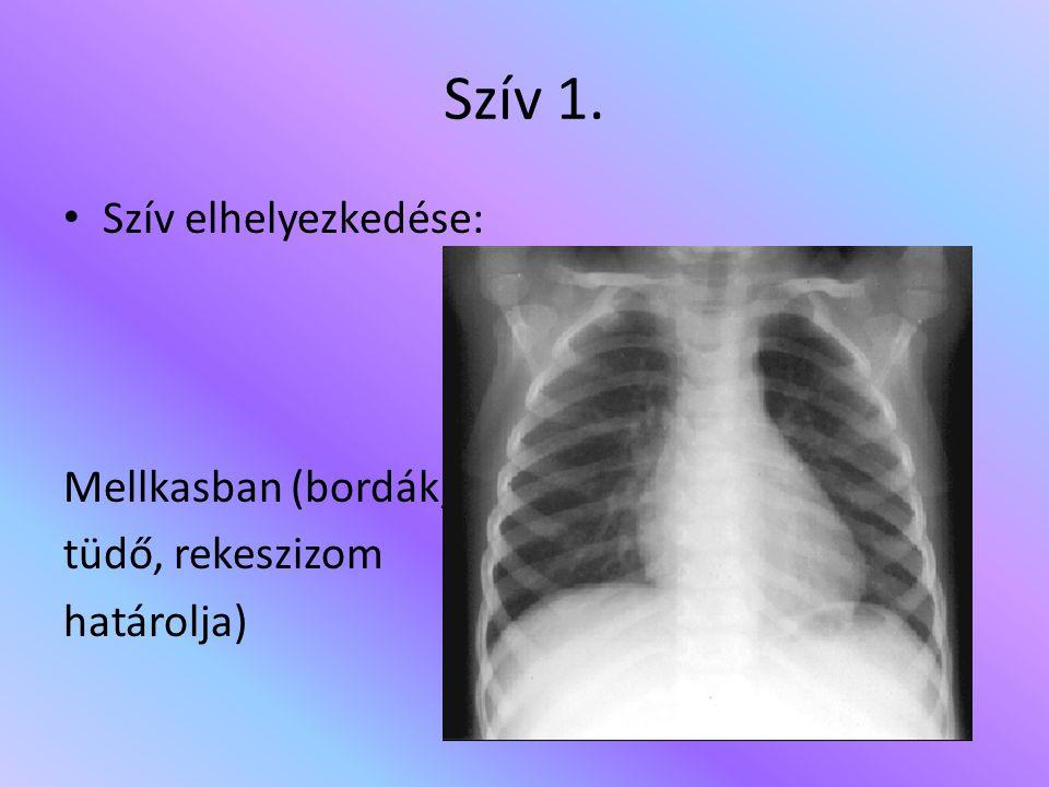 Szív 1. Szív elhelyezkedése: Mellkasban (bordák, tüdő, rekeszizom