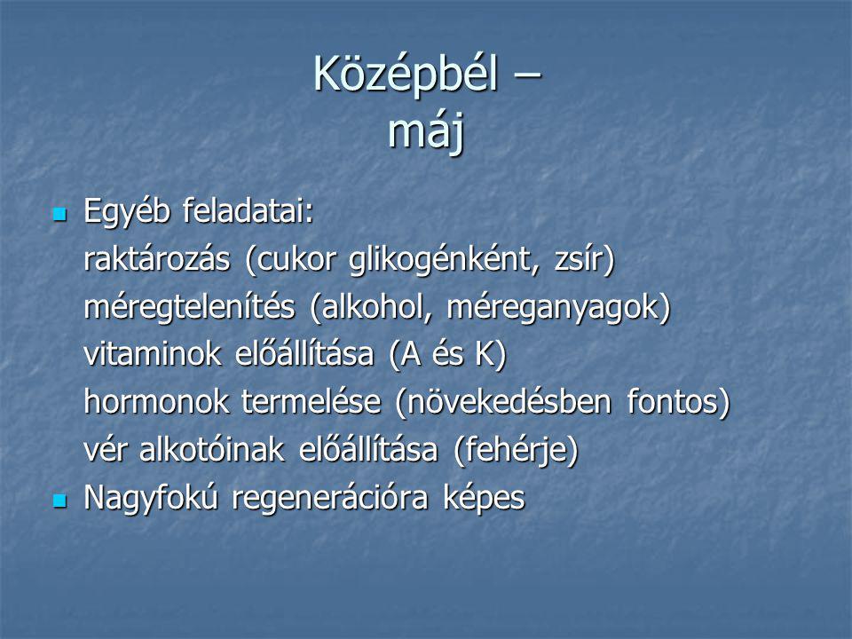 Középbél – máj Egyéb feladatai: raktározás (cukor glikogénként, zsír)