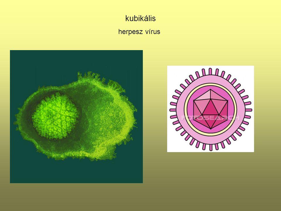 kubikális herpesz vírus