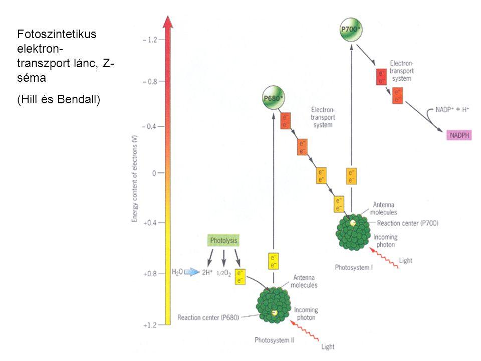 Fotoszintetikus elektron-transzport lánc, Z-séma