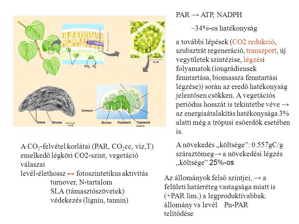 PAR → ATP, NADPH ~34%-os hatékonyság.