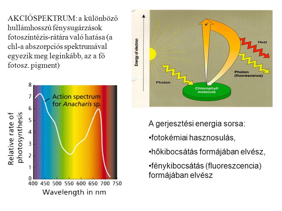 AKCIÓSPEKTRUM: a különböző hullámhosszú fénysugárzások fotoszintézis-rátára való hatása (a chl-a abszorpciós spektrumával egyezik meg leginkább, az a fő fotosz. pigment)