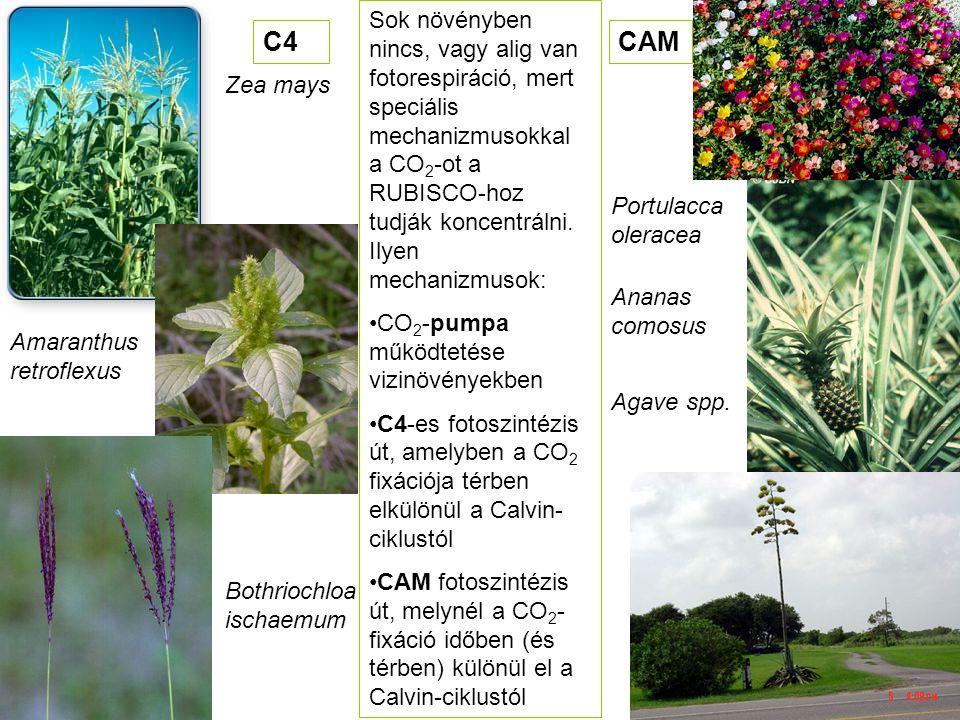 Sok növényben nincs, vagy alig van fotorespiráció, mert speciális mechanizmusokkal a CO2-ot a RUBISCO-hoz tudják koncentrálni. Ilyen mechanizmusok: