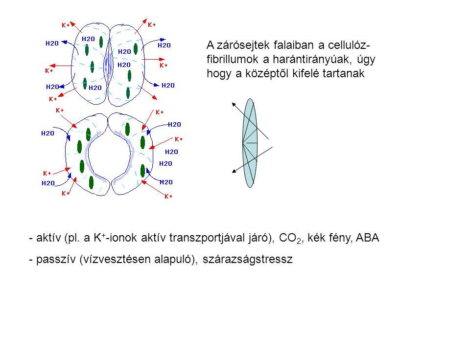 A zárósejtek falaiban a cellulóz-fibrillumok a harántirányúak, úgy hogy a középtől kifelé tartanak