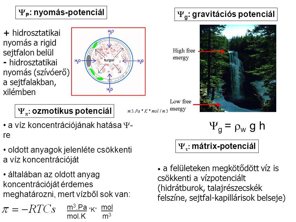 Yg = rw g h YP: nyomás-potenciál Yg: gravitációs potenciál