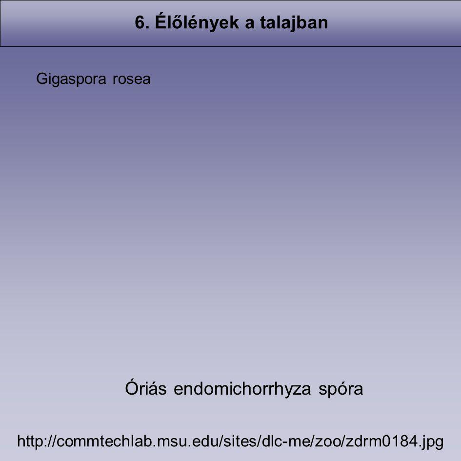 Óriás endomichorrhyza spóra