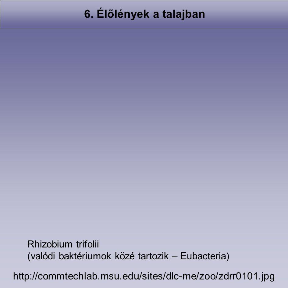6. Élőlények a talajban Rhizobium trifolii. (valódi baktériumok közé tartozik – Eubacteria)