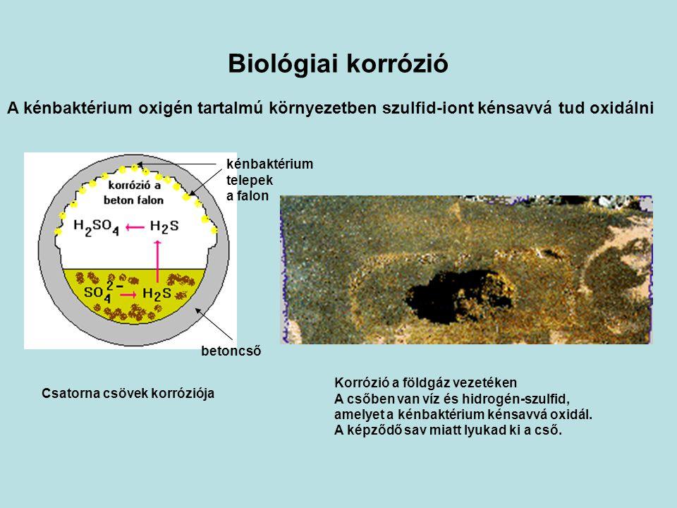 Biológiai korrózió A kénbaktérium oxigén tartalmú környezetben szulfid-iont kénsavvá tud oxidálni. kénbaktérium.