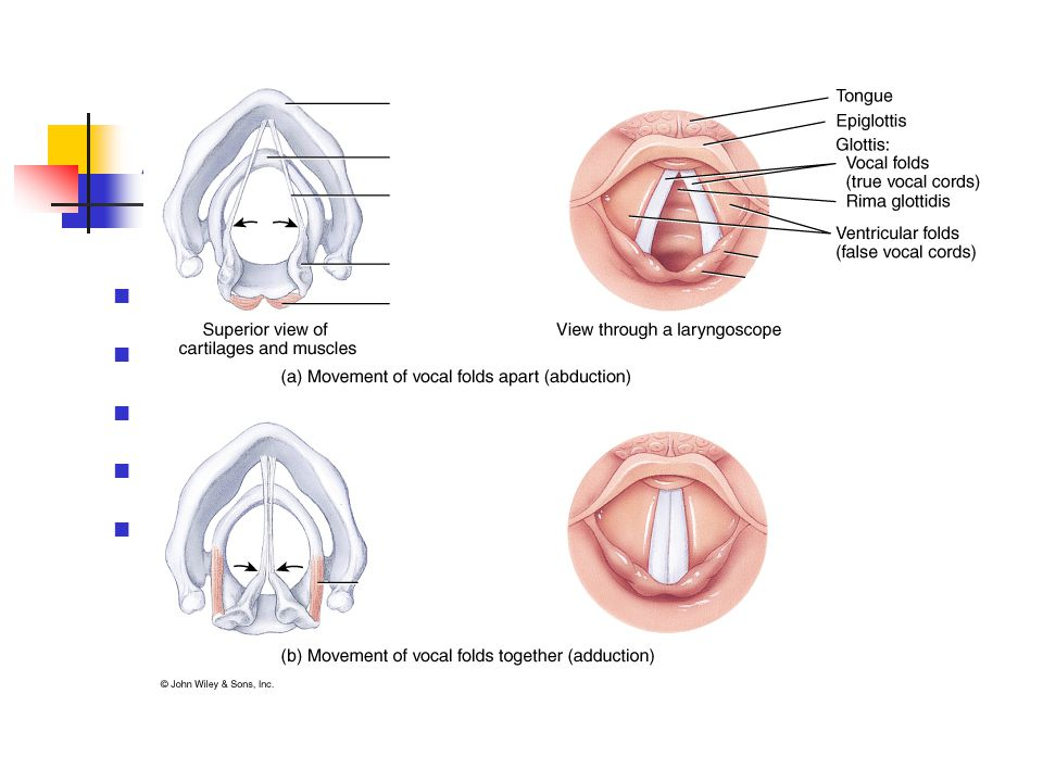 Alsó légutak Gége (larynx)