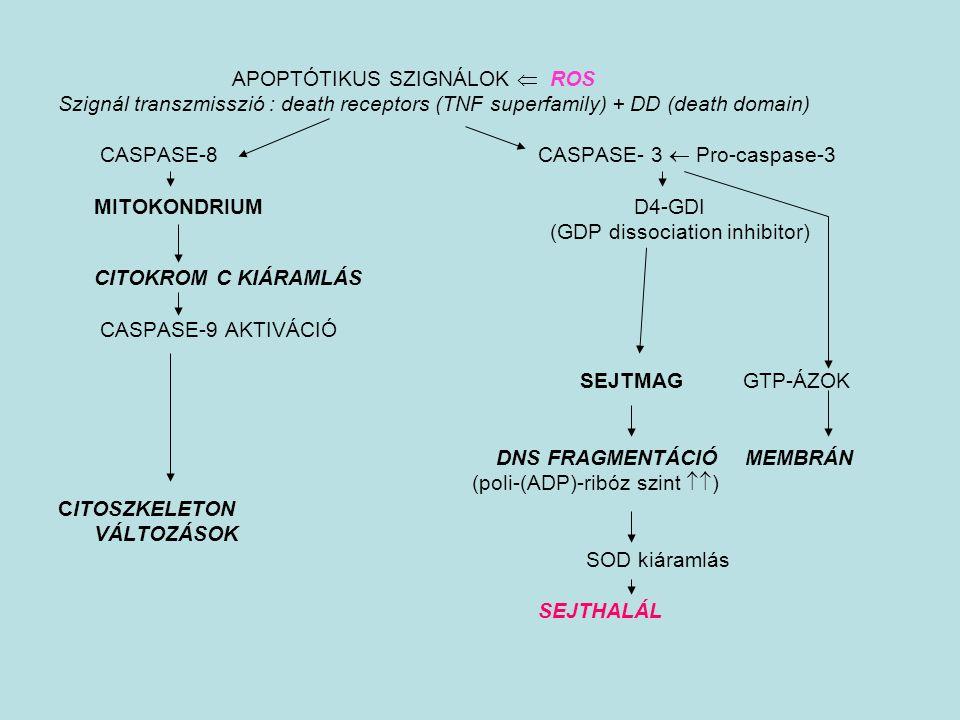 CASPASE-8 CASPASE- 3  Pro-caspase-3 MITOKONDRIUM D4-GDI