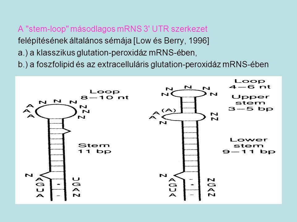 A stem-loop másodlagos mRNS 3 UTR szerkezet