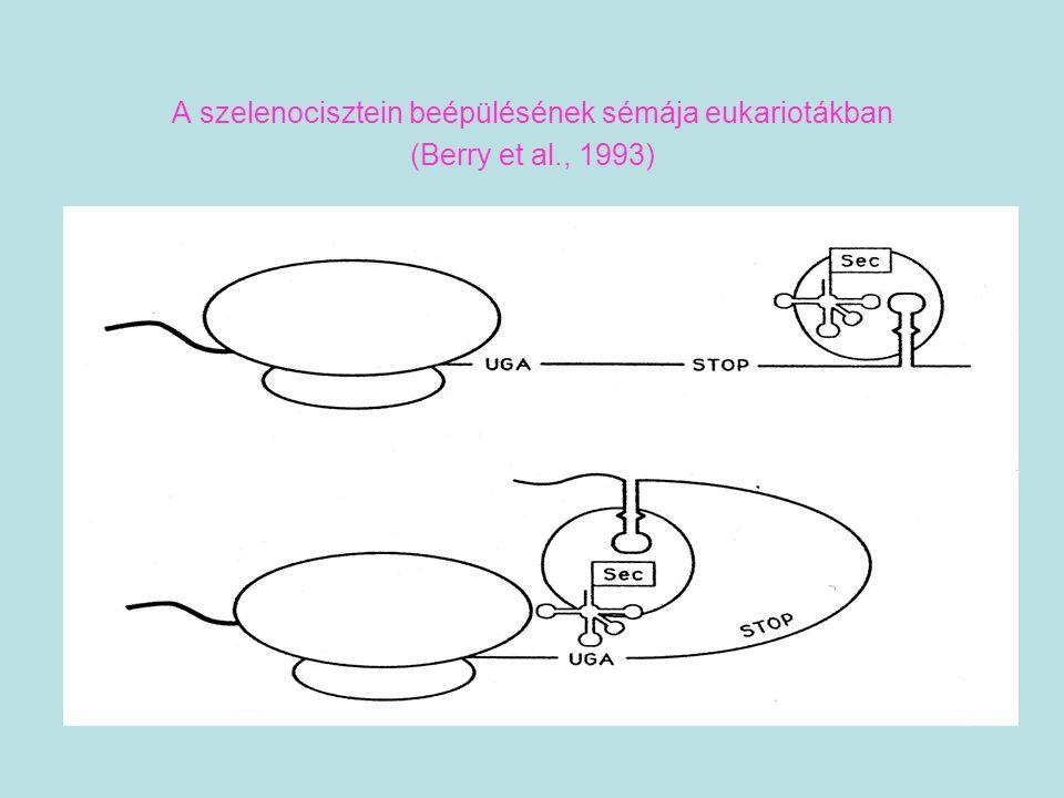 A szelenocisztein beépülésének sémája eukariotákban