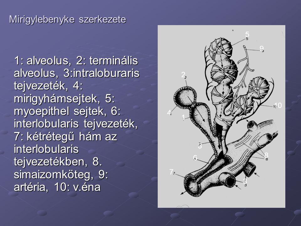 Mirigylebenyke szerkezete