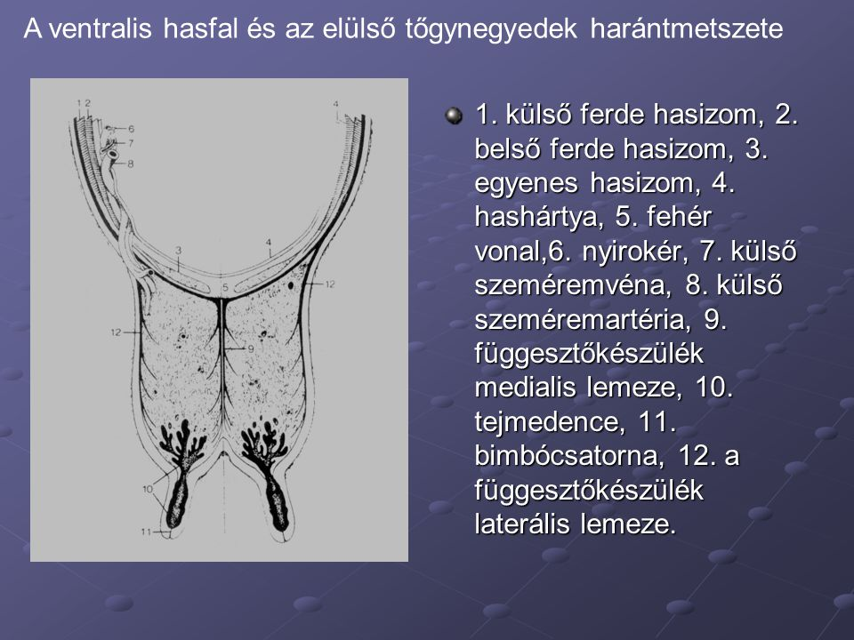 A ventralis hasfal és az elülső tőgynegyedek harántmetszete