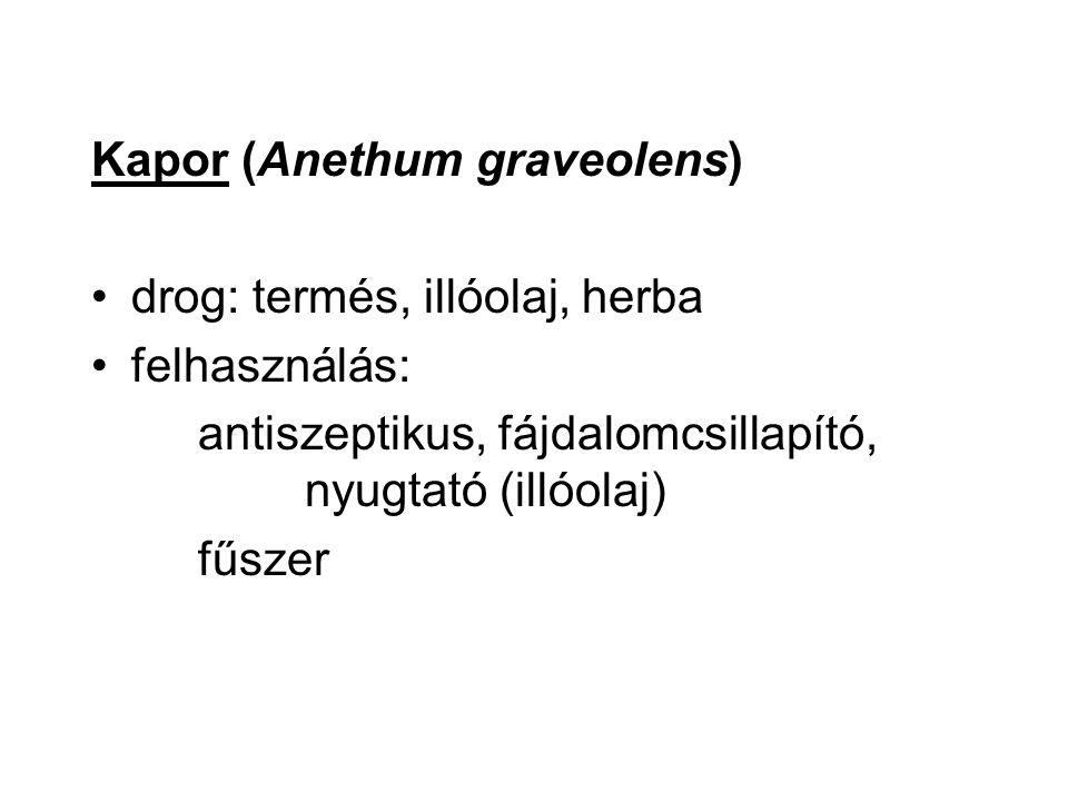 Kapor (Anethum graveolens)