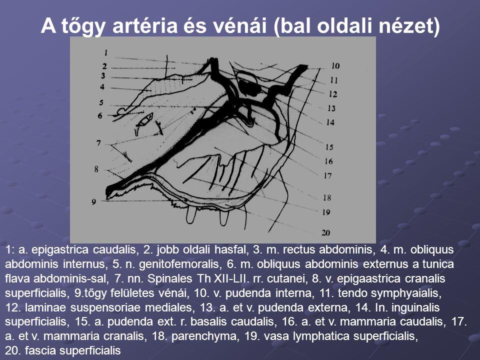 A tőgy artéria és vénái (bal oldali nézet)