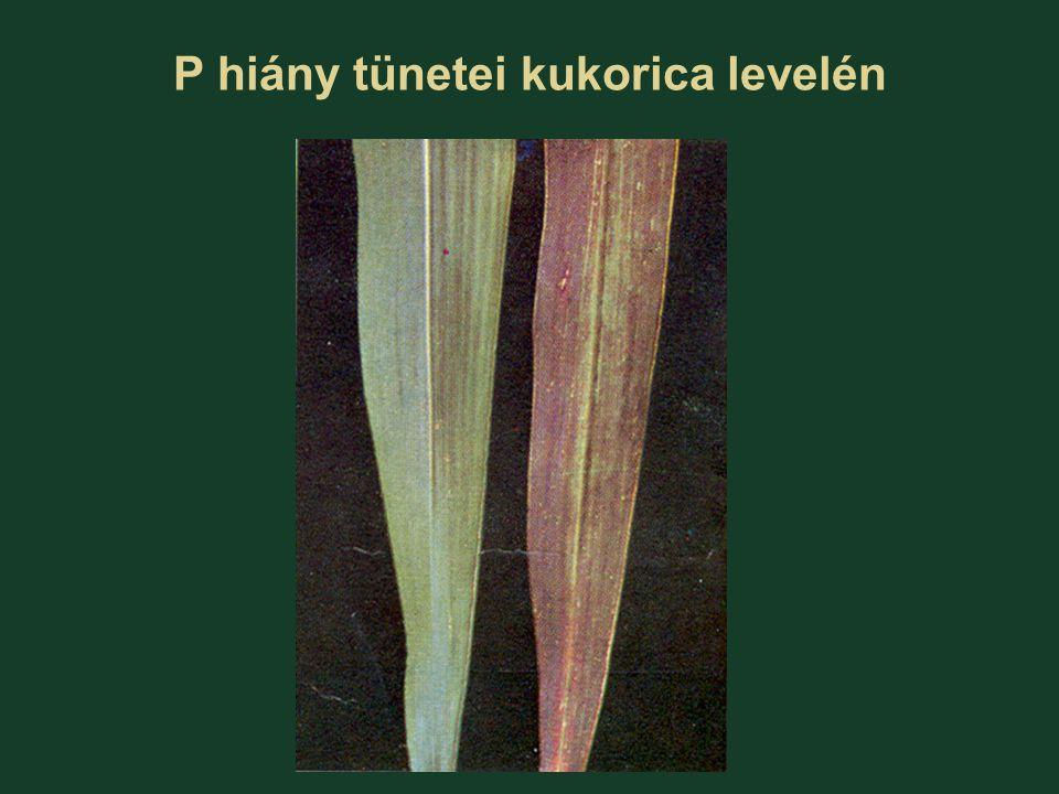 P hiány tünetei kukorica levelén