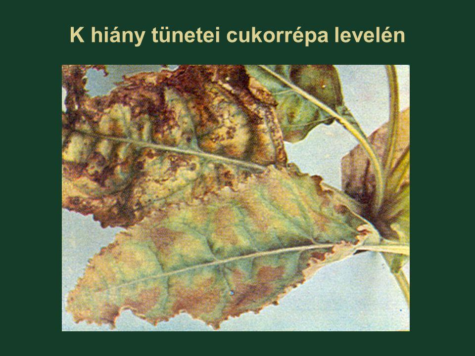 K hiány tünetei cukorrépa levelén