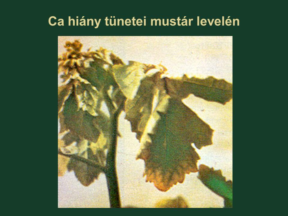 Ca hiány tünetei mustár levelén