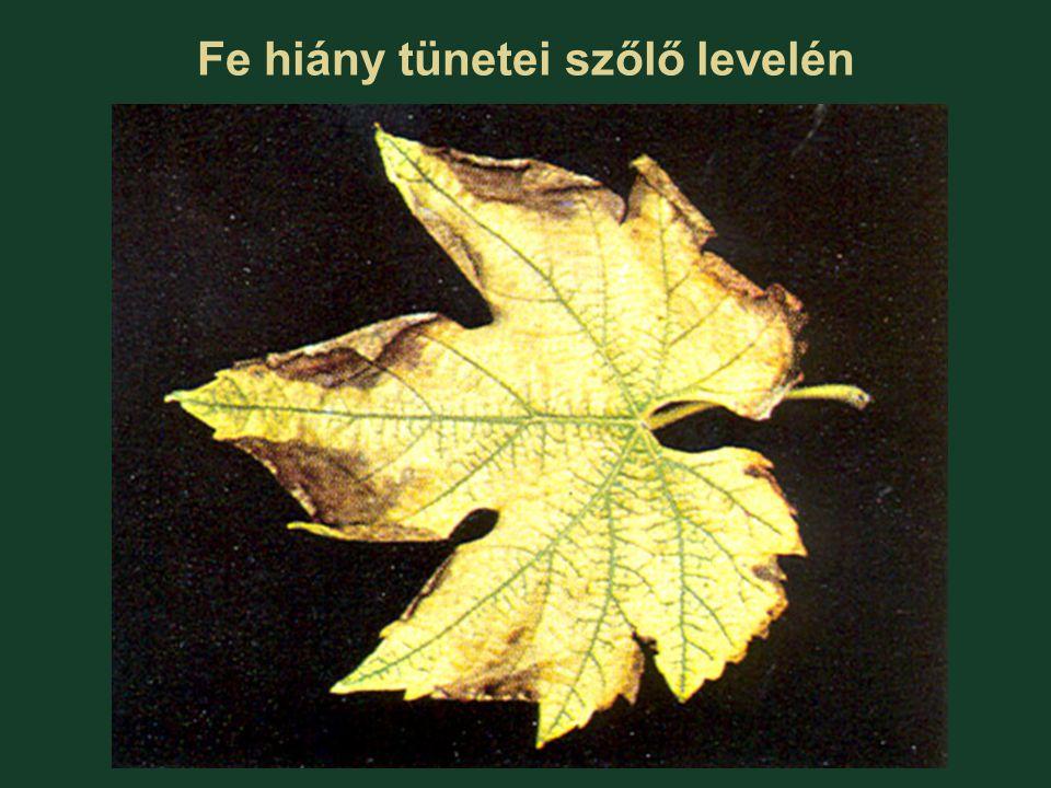 Fe hiány tünetei szőlő levelén