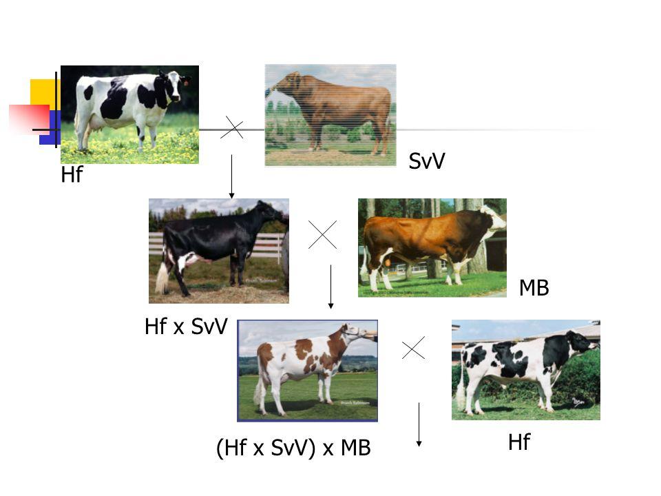 SvV Hf MB Hf x SvV Hf (Hf x SvV) x MB