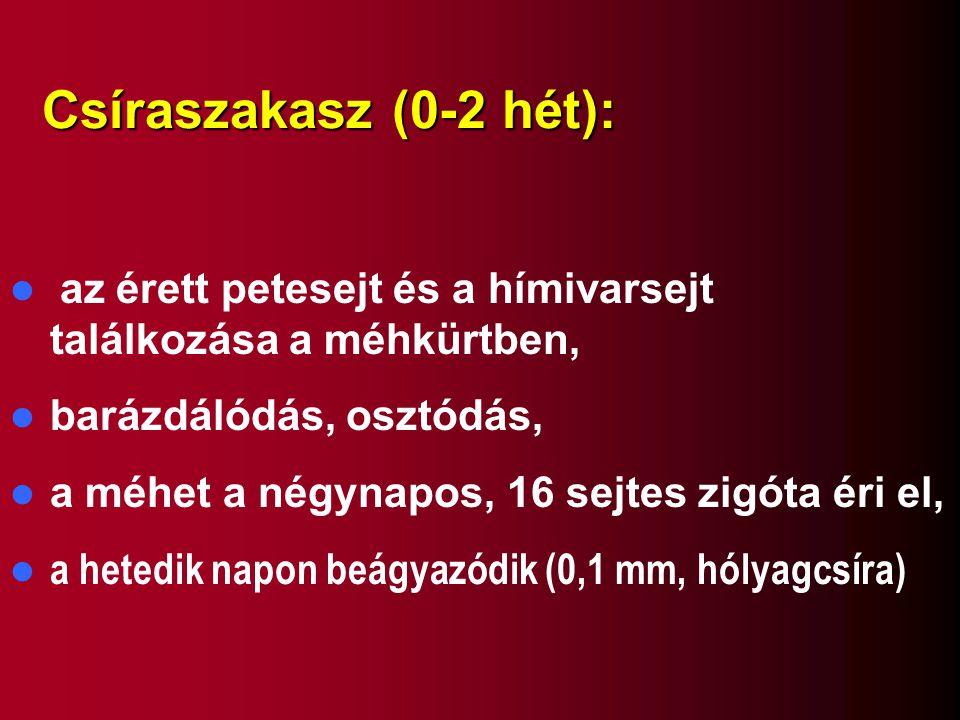 Csíraszakasz (0-2 hét): az érett petesejt és a hímivarsejt találkozása a méhkürtben, barázdálódás, osztódás,