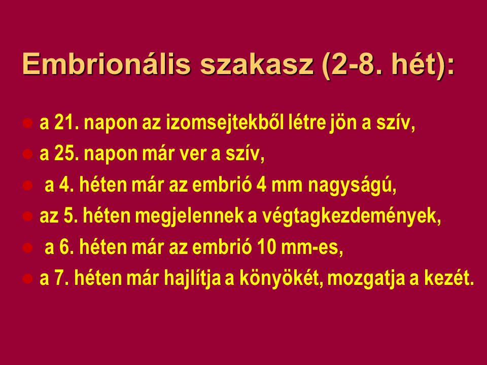 Embrionális szakasz (2-8. hét):