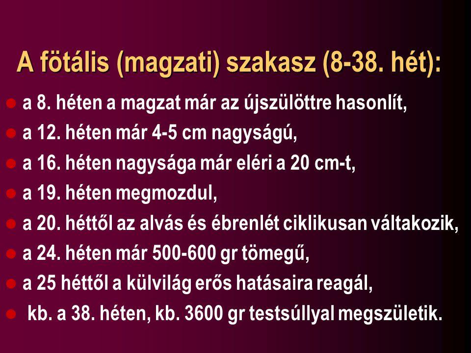A fötális (magzati) szakasz (8-38. hét):