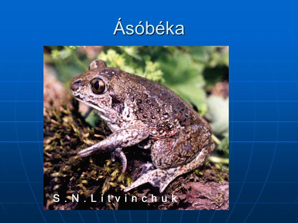 Ásóbéka