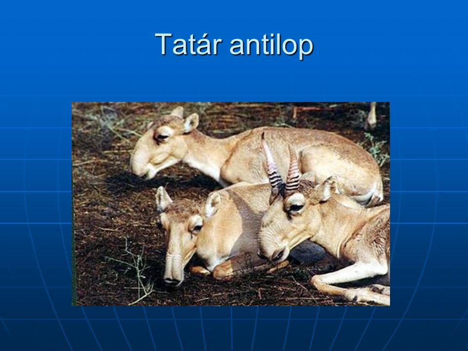 Tatár antilop