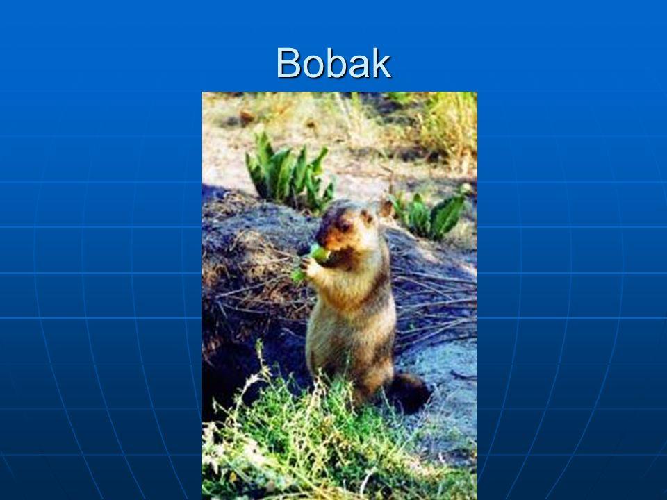 Bobak