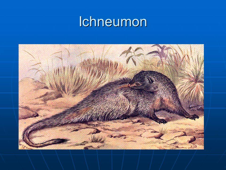 Ichneumon