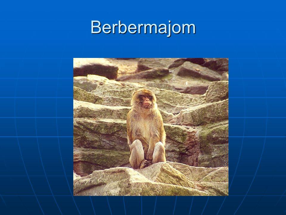 Berbermajom