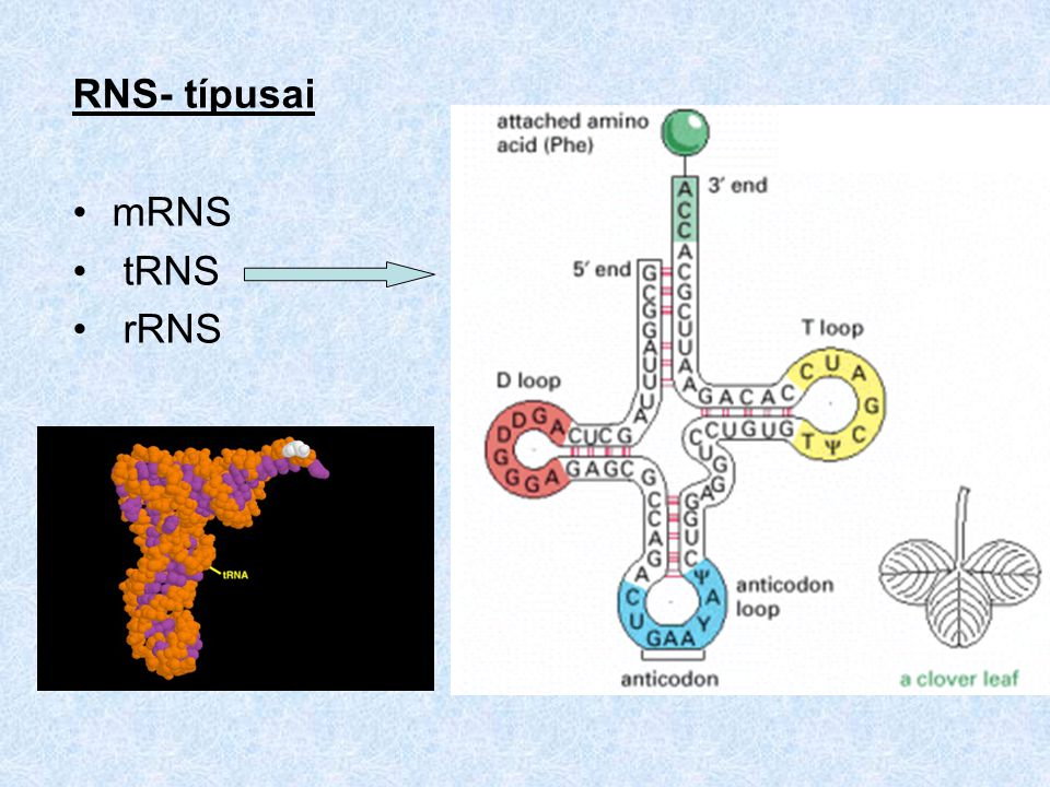 RNS- típusai mRNS tRNS rRNS