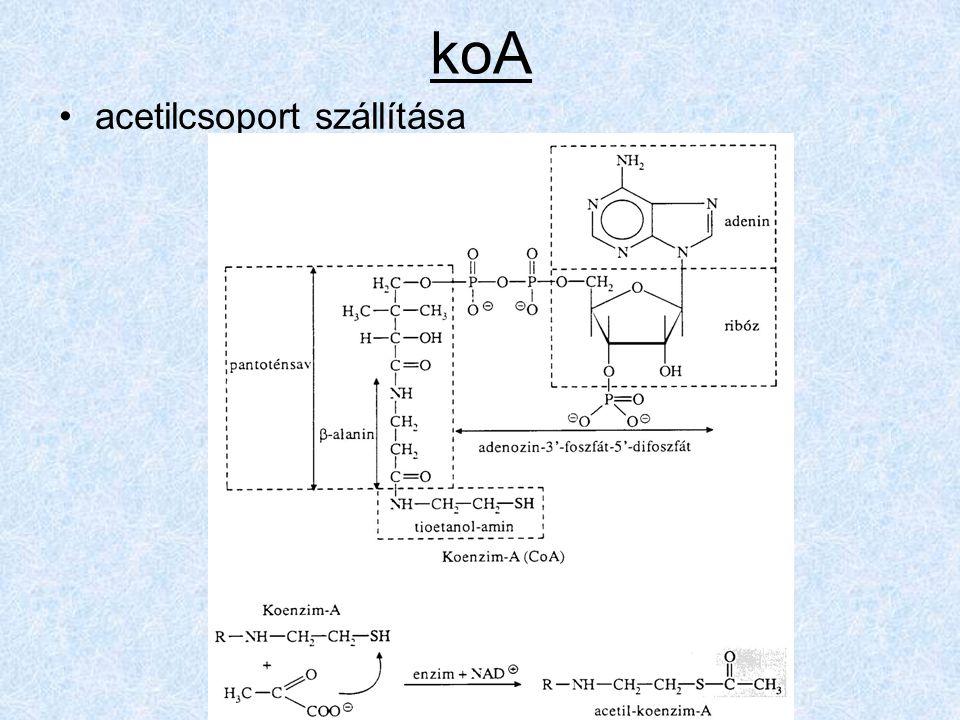 koA acetilcsoport szállítása