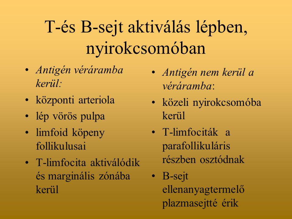 T-és B-sejt aktiválás lépben, nyirokcsomóban