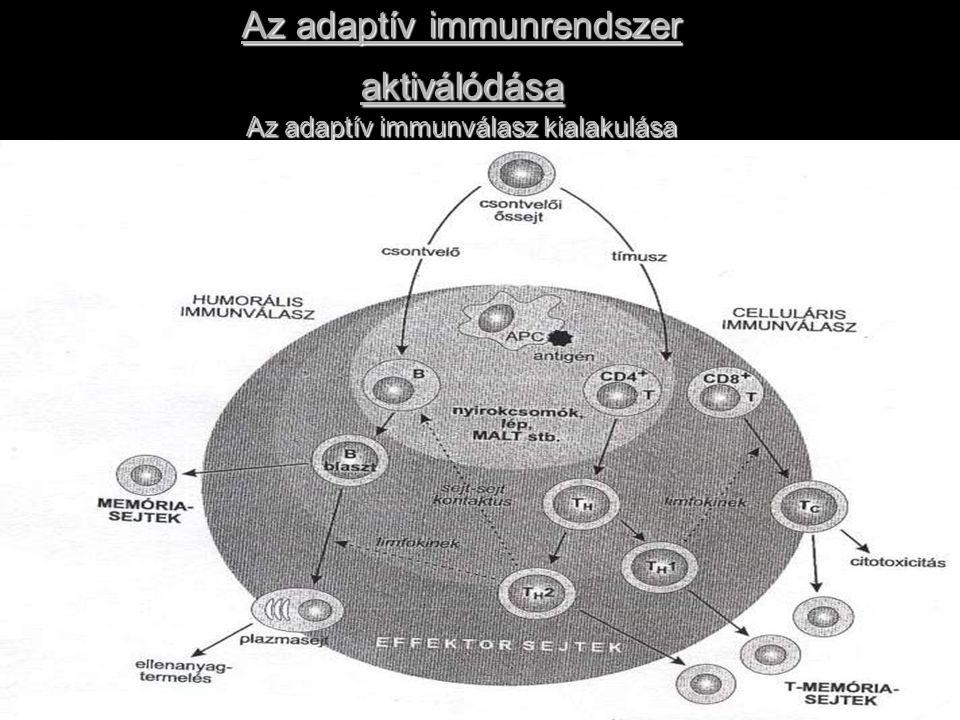 Az adaptív immunrendszer aktiválódása Az adaptív immunválasz kialakulása