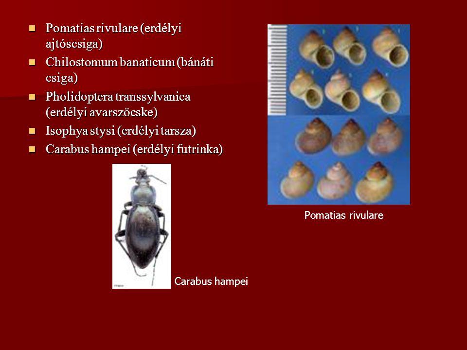 Pomatias rivulare (erdélyi ajtóscsiga)