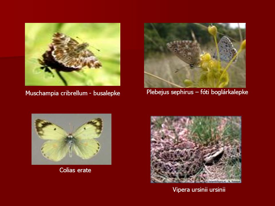 Muschampia cribrellum - busalepke