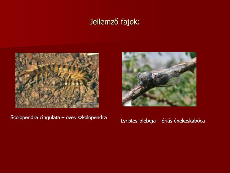 Jellemző fajok: Scolopendra cingulata – öves szkolopendra
