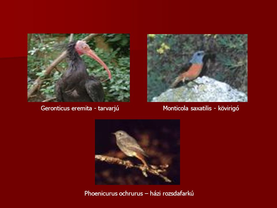 Geronticus eremita - tarvarjú