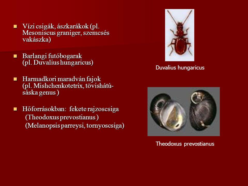 Vízi csigák, ászkarákok (pl. Mesoniscus graniger, szemcsés vakászka)
