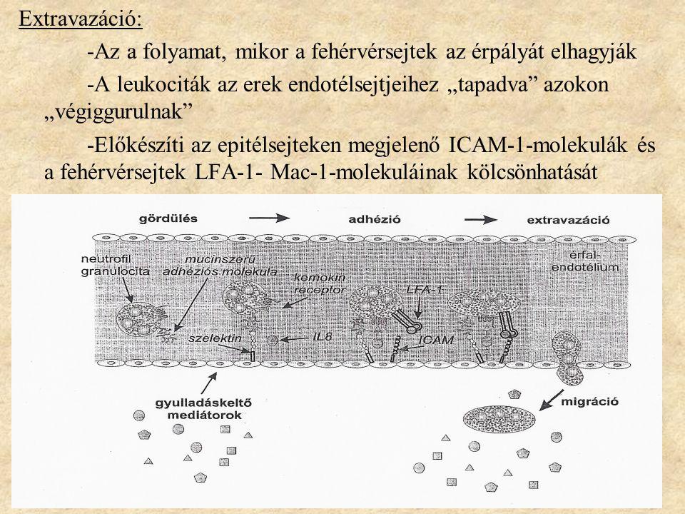 """Extravazáció: -Az a folyamat, mikor a fehérvérsejtek az érpályát elhagyják. -A leukociták az erek endotélsejtjeihez """"tapadva azokon """"végiggurulnak"""